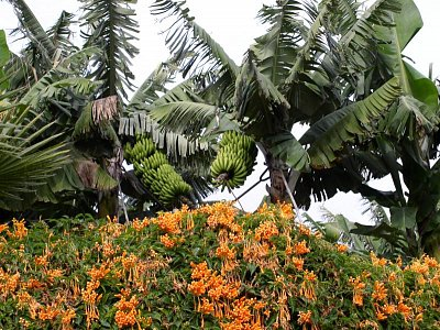 banánovníky - Puerto de la  Cruz