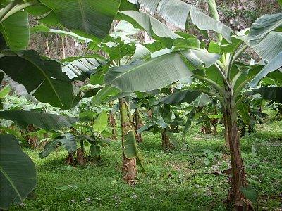 viňáles - banánovníky (nahrál: best)